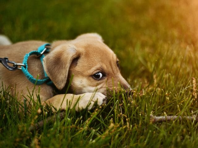 can dogs eat grass?